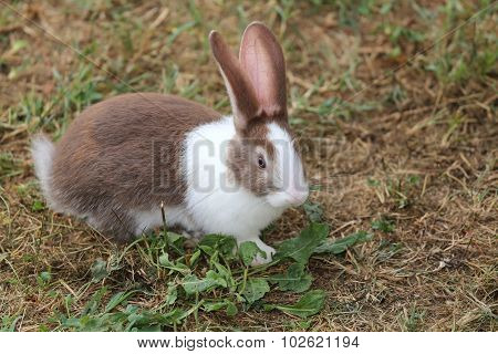 Big Rabbit With Very Long Ears