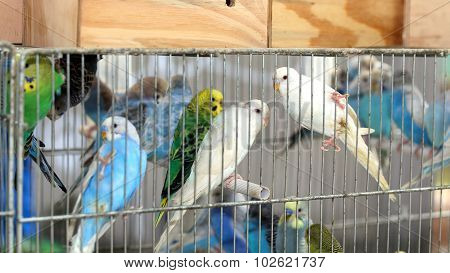 Many Colourful Budgies In Cages For Sale