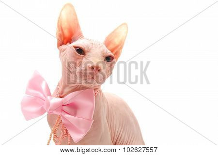 Sphynx cat with decorations isolated on white background