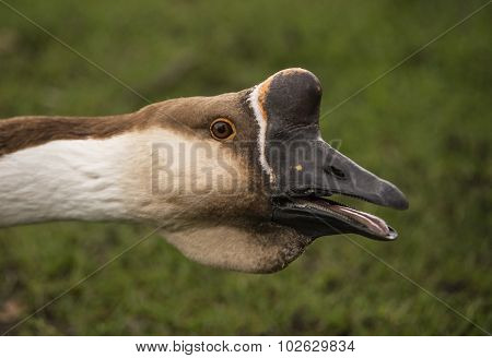 Swan goose-Anser cygnoides head shot close up