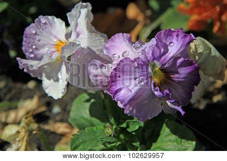 Pansies In A Garden