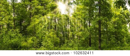 Forest Panorama In The Spring With Sunbeams