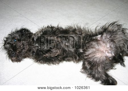 Submissive Schnoodle