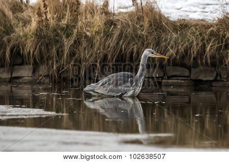 Grey Heron ardea cinerea wading in a pond