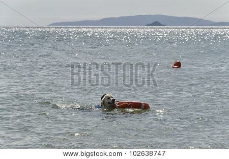 Dog Brings The Coach Out Of The Water