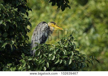 Grey Heron, ardea cinerea, sitting in tree