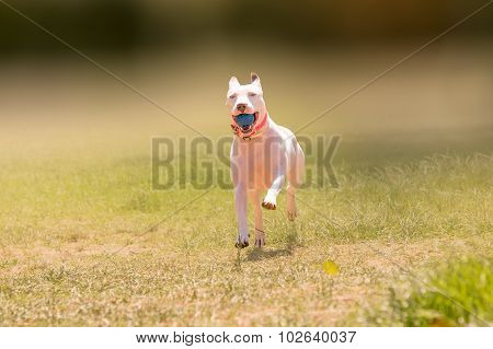 Happy American pit bull terrier dog running at a park.