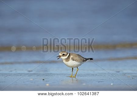 Ringed plover tweeting on the beach, in front of the sea