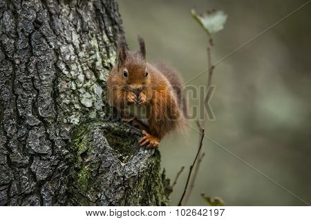 Red squirrel Sciurus vulgaris sitting on the side of a tree eating a nut