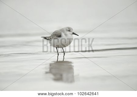 Sanderling Calidris alba standing in the sea with a reflection