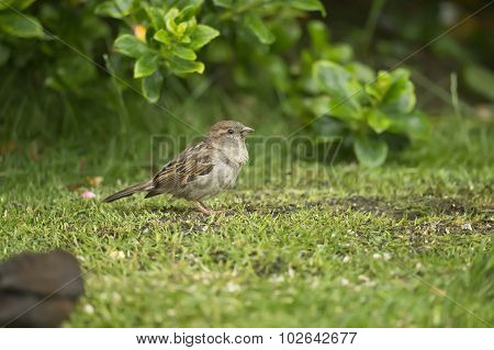 Sparrow Passer domesticus female perched on the grass