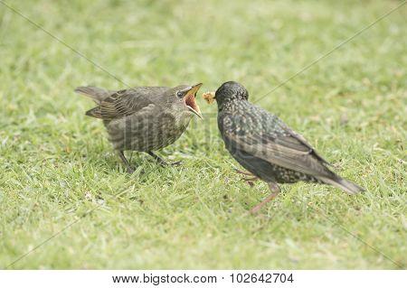 Starling Sturnus vulgaris baby being fed by an adult