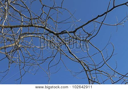 Dried Tree Branch Against Blue Sky.