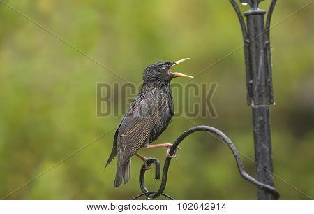 Starling Sturnus vulgaris perched on a feeder squawking
