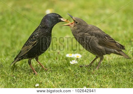 Starling Sturnus vulgaris baby being fed by an adult on the grass
