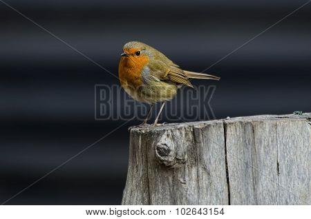 Robin, redbreast perched on a tree stump