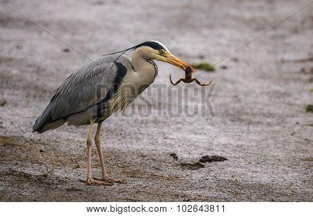 Grey Heron ardea cinerea eating a frog