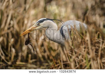 Grey Heron ardea cinerea in reeds with frog in its beak