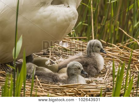 Mute swan Cygnus olor on nest with hatching egg and newly hatched Cygnets