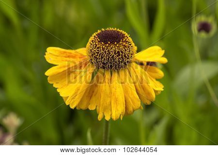 Yellow Coneflower Echinacea paradoxa in the summer