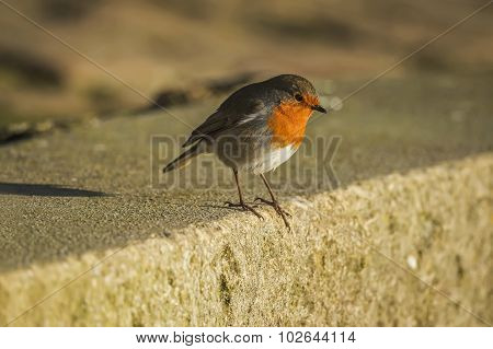 Robin, Erithacus rubecula, perched on a sea wall