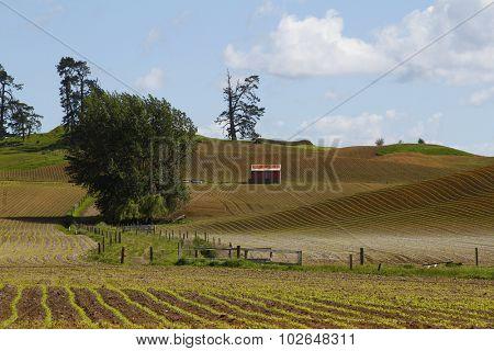 An old barn in field of corn, New Zealand