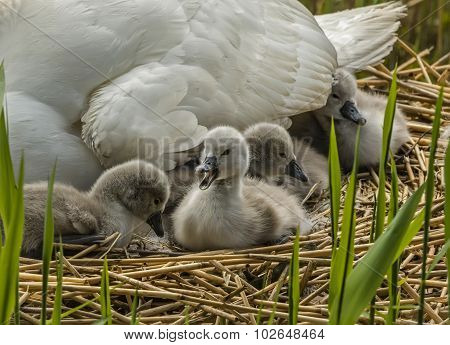 Mute swan Cygnus olor Cygnets on the nest