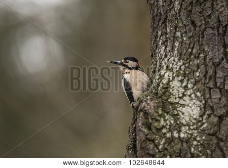 Great spotted woodpecker Dendrocopos major perched on the side of a tree