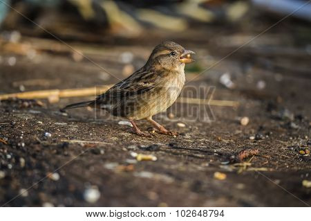 Sparrow Passer domesticus standing on pavement eating