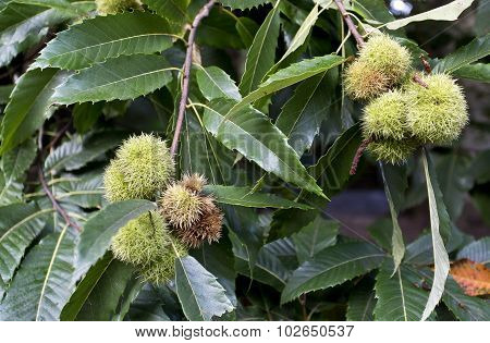 Green Chestnut Cupule