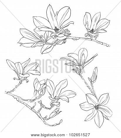 Hand drawn realistic magnolia drawing set