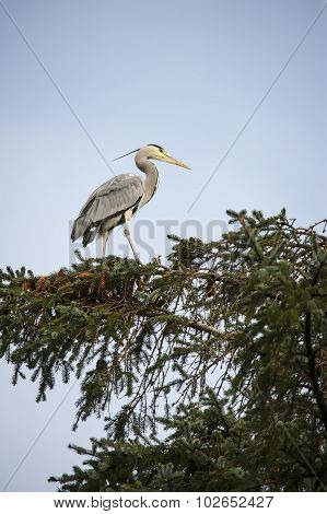 Heron ardea cinerea standing at the top of a pine tree