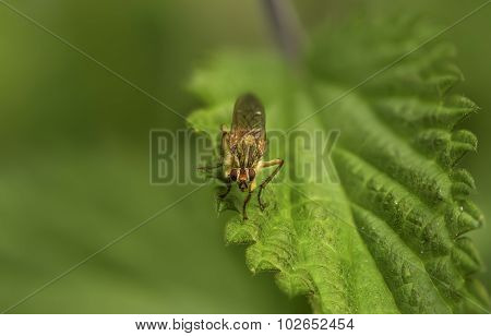 Tachinid fly resting on a leaf in the Summer
