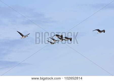 Bean goose in formation, bird migration.