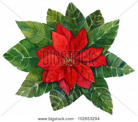 A vintage style watercolour drawing of a bright red poinsettia (Christmas flower)