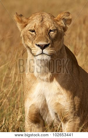 Portrait Of Lioness