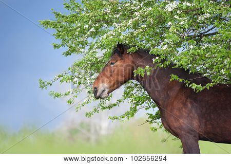 A beautiful brown horse standing under a blossoming tree on blue sky background. Portrait of a mare