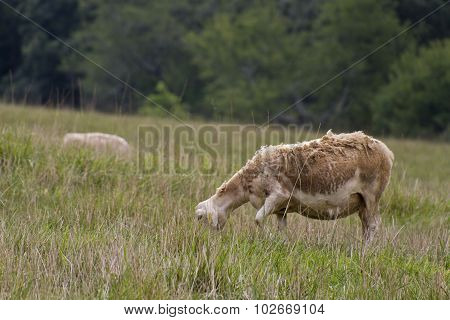 Ragged Grazing Sheep