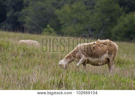Ragged Grazing Sheep
