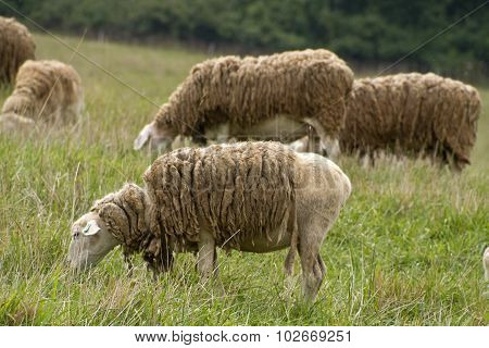 Shaggy Sheep Graze Together Peacefully