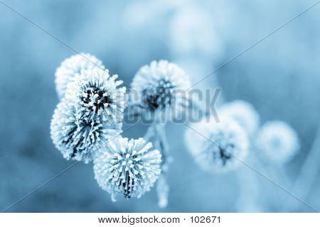 Blue Winter Burdock