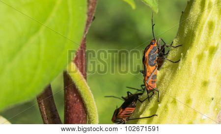 Milkweed Beetle. Red and Black Beetle Close-up.