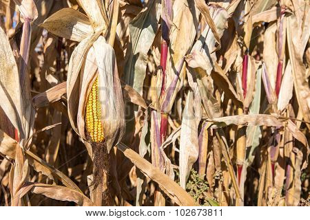 Drooping Ear Of Autumn Corn