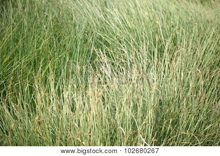 Sweet grass in the wind