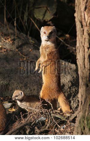 Yellow mongoose (Cynictis penicillata) with a baby. Wild life animal.