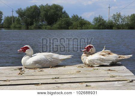 Muscovy ducks near lake.