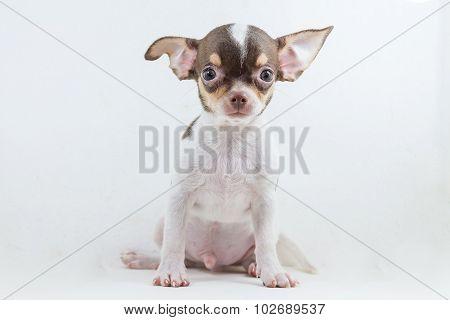 Cute Short Hair Chihuahua