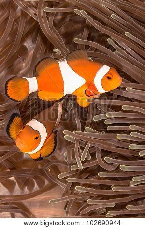 Clown Anemone Fish