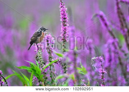 Common Stonechat Standing On A Purple Flower