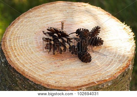 Pine And Alder Cones On Wooden Stump In Garden On Sunny Day
